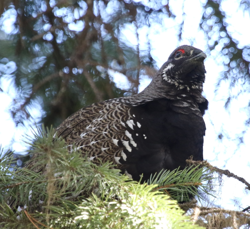 SpruceGrouse2
